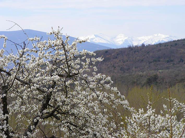 Cerezos floridos